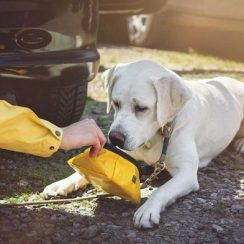 How to Care for your Dog When She is in Heat
