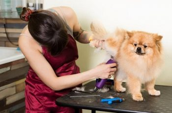 groomer-woman-haircut-cute-pomeranian-hair