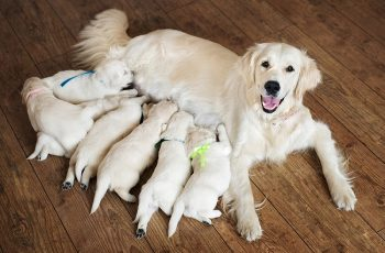 Golden retriever breeders near me