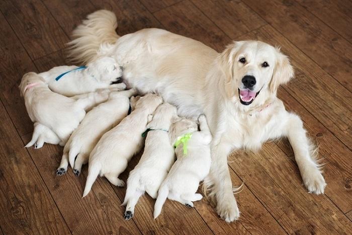 Golden Retriever Breeders Near Me | Puppy Breeders Near You