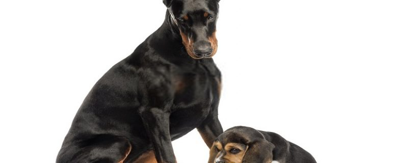 Best Food For Doberman Puppies
