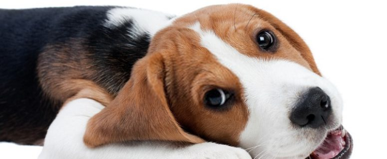 Best Foods For Beagles